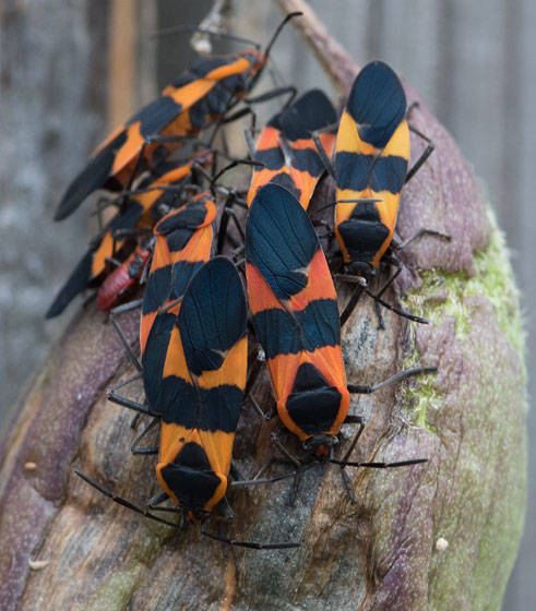 Large Milkweed Bug group. - Oncopeltus fasciatus