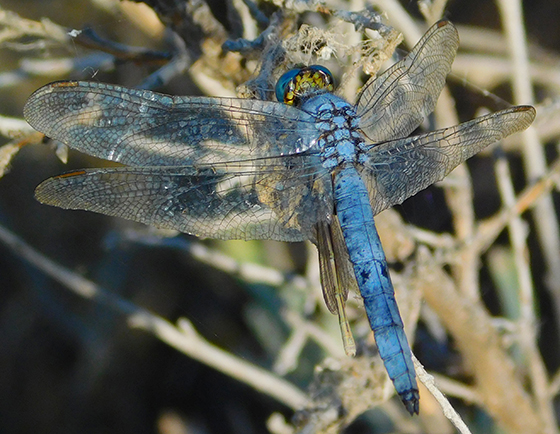 Dragonfly eating a damselfly - Erythemis collocata - male