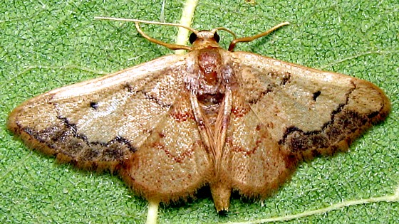 Red-Bordered Wave Moth - Hodges #7114 - Idaea kendallaria