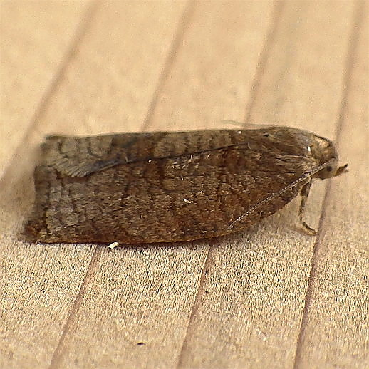 Tortricidae: Archips rosana - Archips rosana