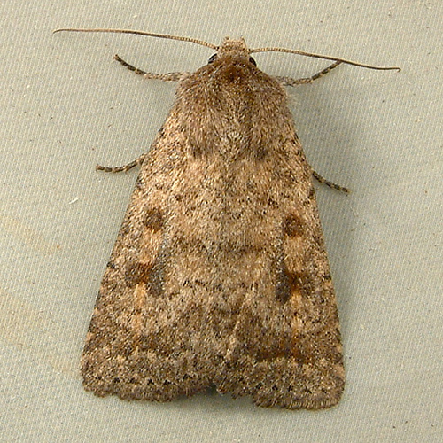 1213 Caradrina morpheus - Mottled Rustic Moth 9653 - Caradrina morpheus