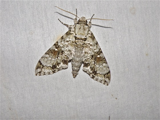 Sphinx Moth? - Manduca florestan