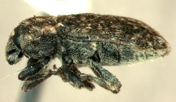 Bangasternus orientalis