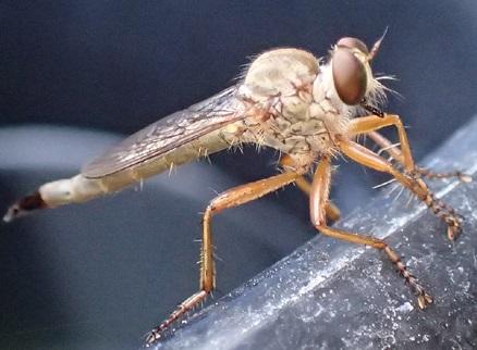asilidae sp - Polacantha - female