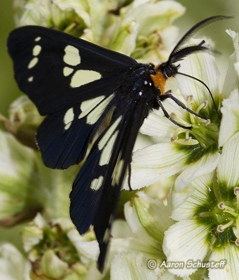 Gnophaela latipennis? - Gnophaela latipennis - male