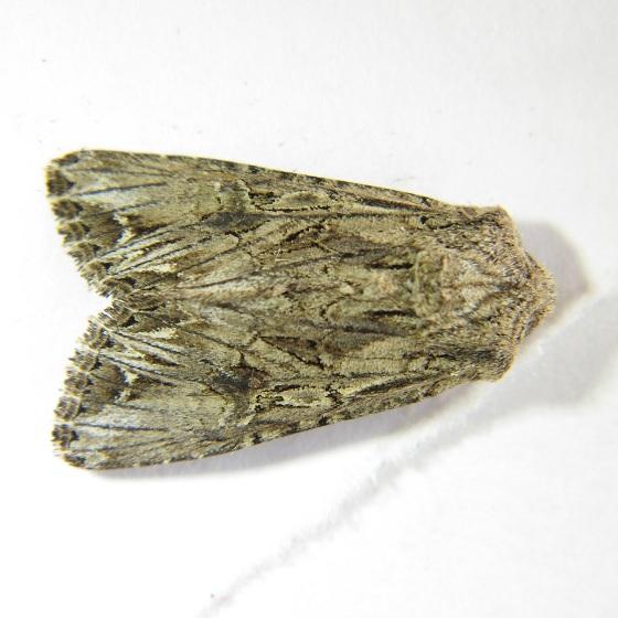 Anarta crotchii - Hodges #10233 - Anarta crotchii