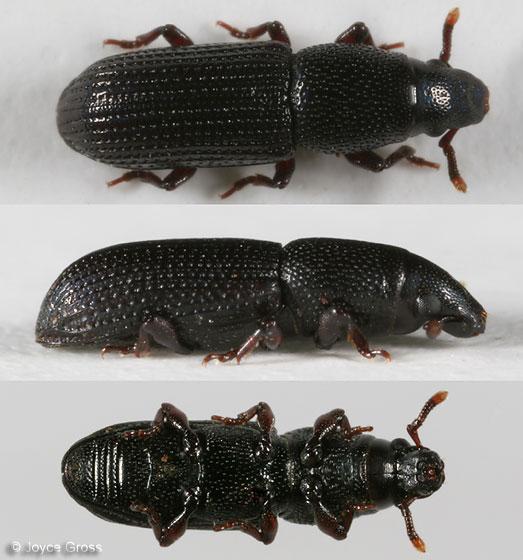 beetle - Rhyncolus oregonensis
