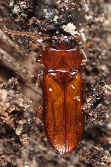 beetle - Adelina