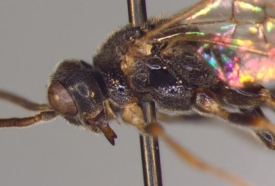 Roproniidae, #3, lateral X - Ropronia garmani