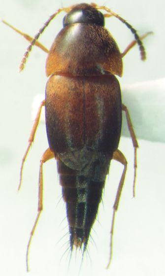 Staphylinidae 105 Tachyporini - Sepedophilus littoreus