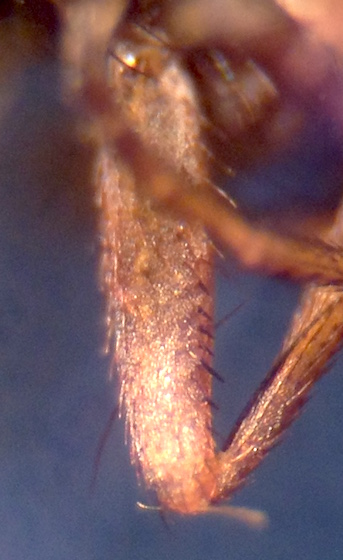 Diastata  sp. - Diastata
