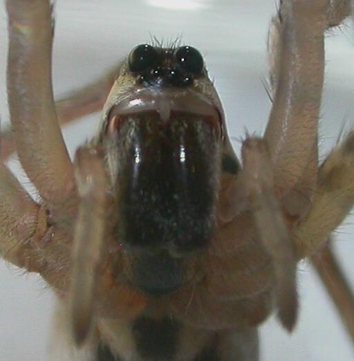 Arctosa littoralis - female