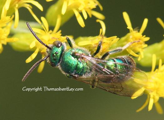 Halictid Bee - Augochloropsis metallica? - Augochloropsis metallica - male