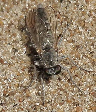 Pale fly - Stichopogon argenteus
