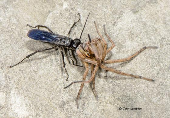 Lycosidae as prey - ID request - Anoplius virginiensis