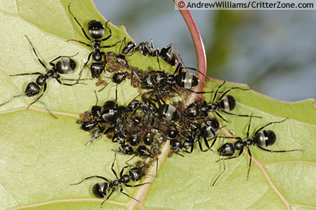 Black Formica Ants Tending Aphids - Formica subsericea