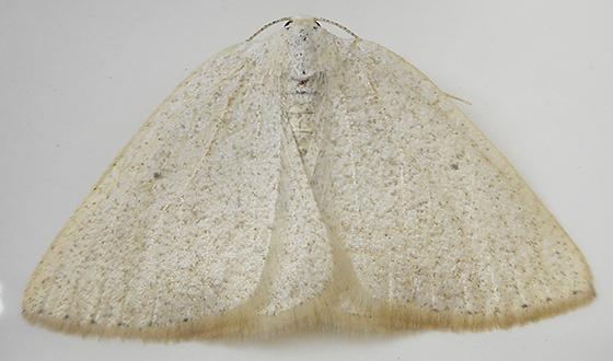 Moth - Eudrepanulatrix rectifascia - female