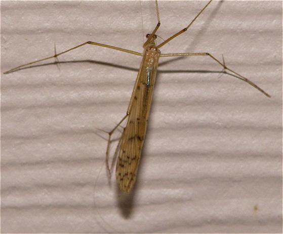 Hangingfly - Bittacus strigosus