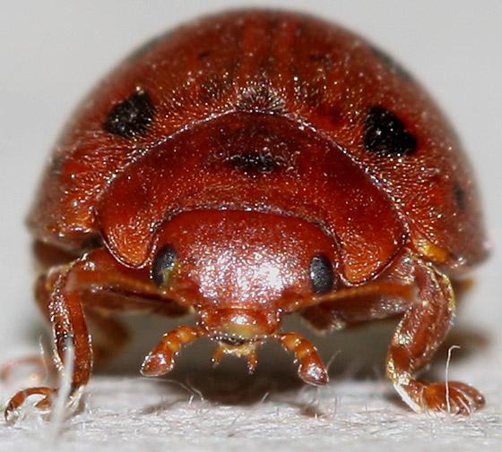 Red Beetle with Black Spots - Subcoccinella vigintiquatuorpunctata