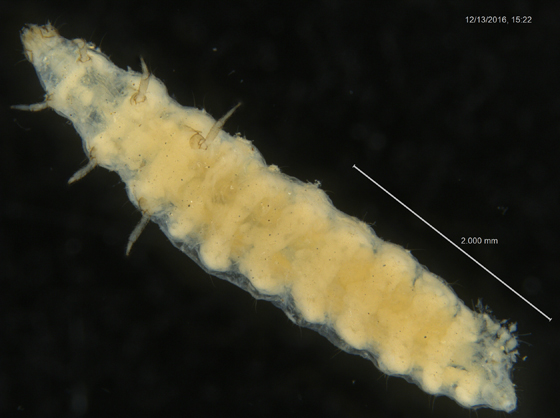 Unknown Larva (Coleoptera?) (3-3)