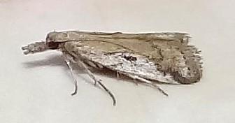 UID Species - Alpheioides parvulalis