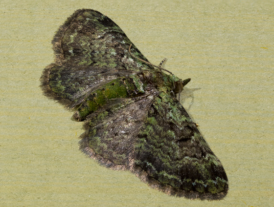 Moth - Pasiphila rectangulata