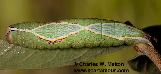 Heterocampa averna larva - Heterocampa averna