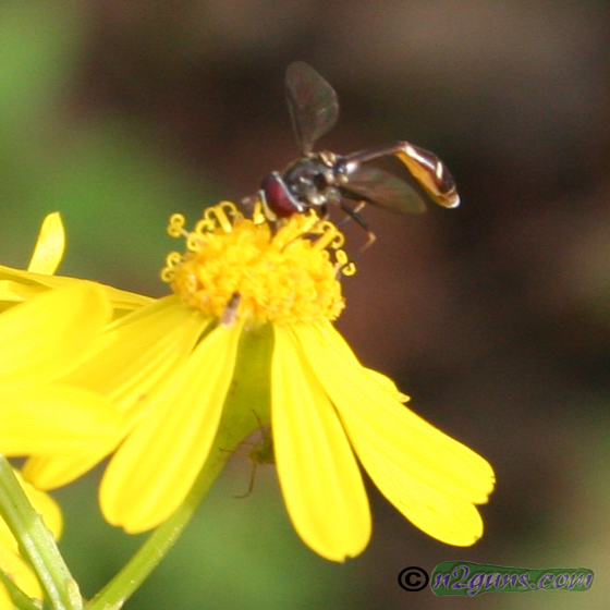 Syrphid Fly - Dioprosopa clavata