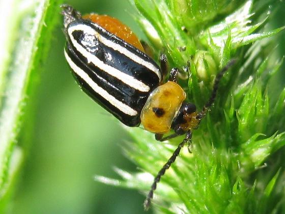 Pigweed Flea Beetle - Disonycha glabrata