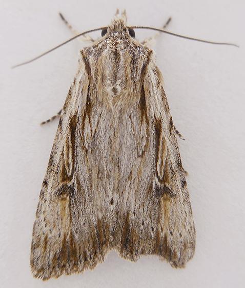 Moth - Xestia