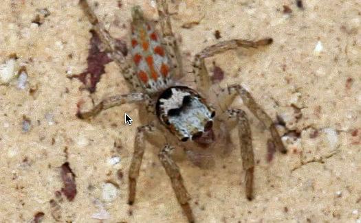 Jumping Spider - Paramaevia poultoni - male
