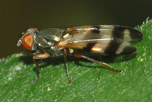 fly with striped wings - Chaetopsis