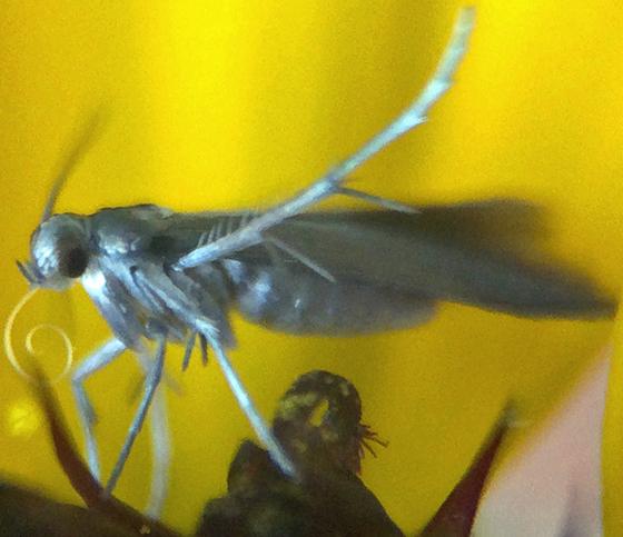 Small moth on black-eyed susan - Schreckensteinia erythriella