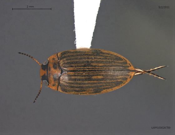 Stictotarsus griseostriatus - Boreonectes griseostriatus