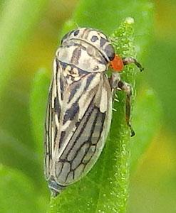 spotted leafhopper - Ceratagallia viator