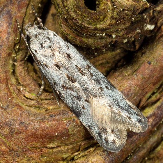 White Moth w/ Brown Spots - Carpatolechia belangerella