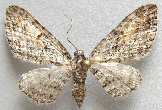 Eupithecia graefii
