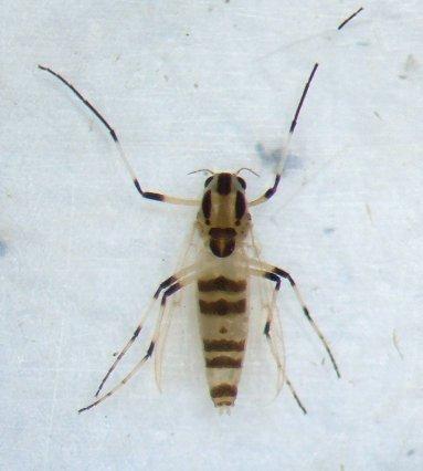 Midge - Cricotopus