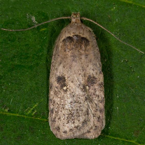 Unknown Moth - Agonopterix argillacea