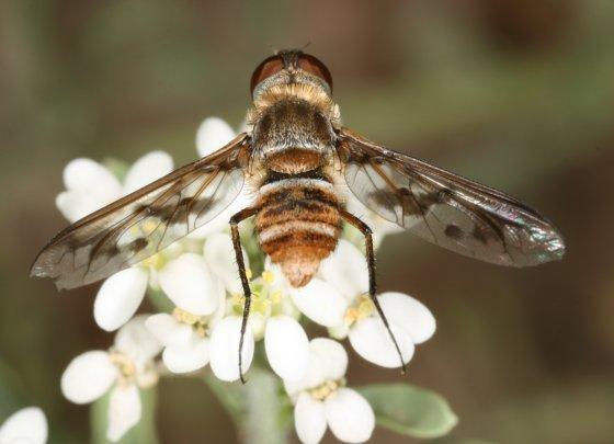 Fly 17 - Exoprosopa butleri