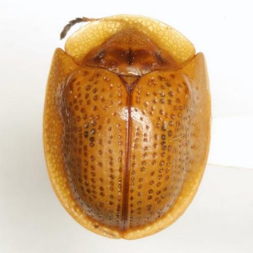 Opacinota bisignata (Boheman) - Opacinota bisignata