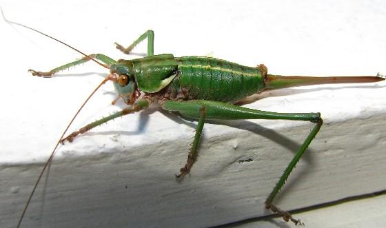 unknown shield-backed katydid - Idiostatus aberrans - female