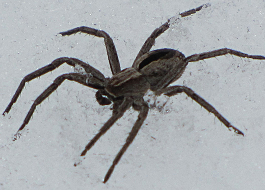Snow Spider - Thanatus