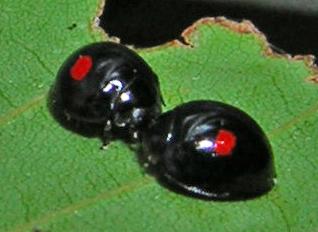 C. kuwanae for Pennsylvania - Chilocorus kuwanae - male - female