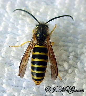 Male Yellow Jackets-all the same species? - Vespula maculifrons - male