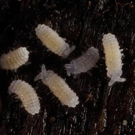 small white springtails - Sensillanura barberi
