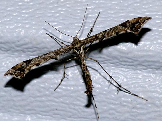 Geranium Plume Moth - Amblyptilia pica