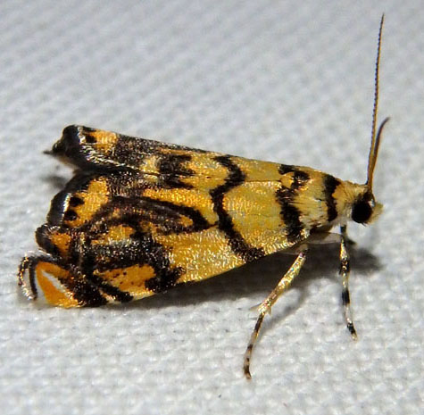 Pyralid - Diptychophora harlequinalis
