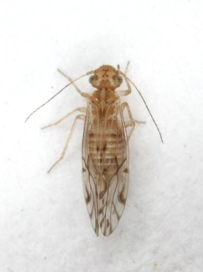 Lachesilla texana - female