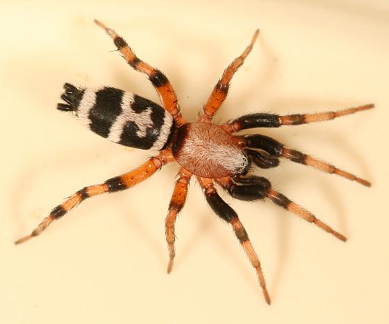 ground spider - Sergiolus capulatus - male